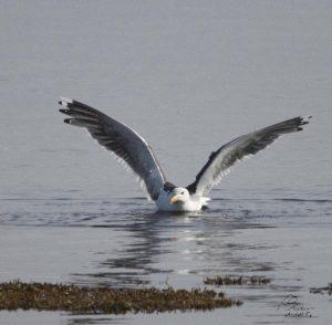 Le goéland marin est le principal prédateur de l'eider à duvet. Il est facilement reconnaissable par la couleur de ses ailes noires. Il y a plusieurs années, on l'appelait goéland à manteau noir.