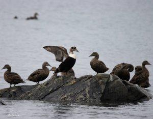 Ce mâle eider à duvet, entouré de quelques femelles, est un des rares mâles à rester dans les parages de l'île aux Basques au cours de l'été.