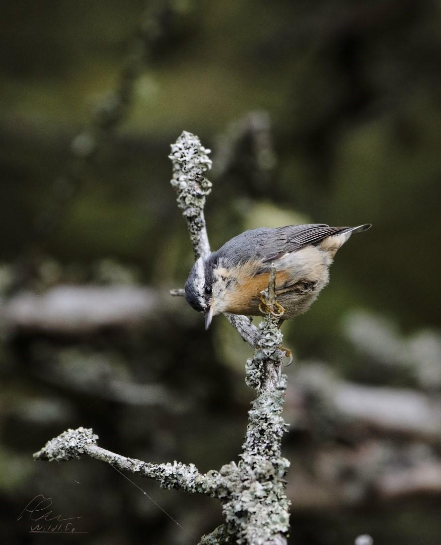 La sitelle à poitrine rousse se trouve surtout en forêt boréale. Elle est une espèce nicheuse et commune à l'île aux Basques.