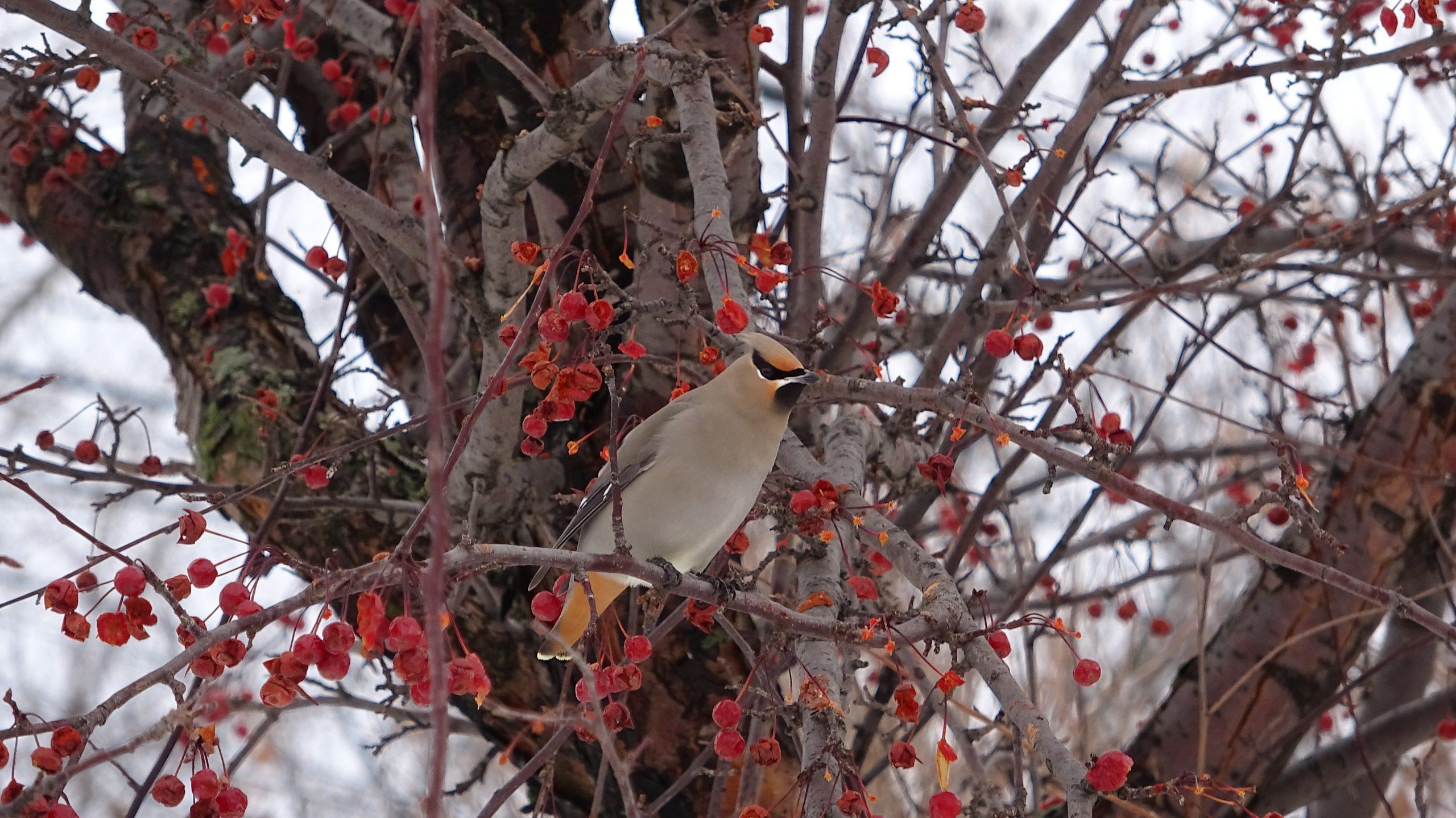 Le jaseur boréal est un visiteur hivernal très présent dans la région de Québec. On le voit ici à la réserve naturelle du Marais-Léon-Provancher, entouré de son garde-manger. Il adore les petits fruits sauvages!