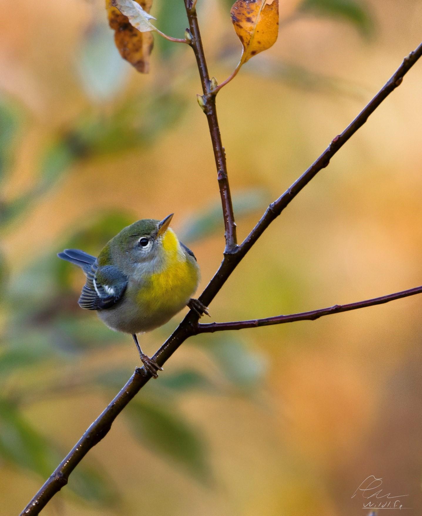 La paruline à collier est une espèce migratrice facilement observable à la réserve naturelle du Marais-Léon-Provancher. Même à l'automne, elle revêt de très belles couleurs permettant facilement de l'identifier,
