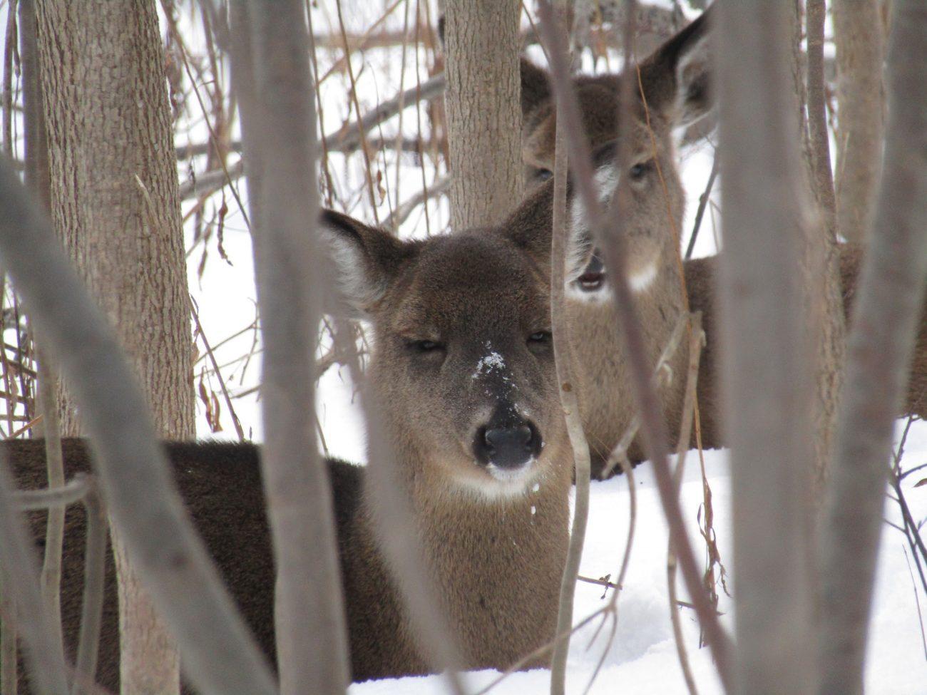 Les cerfs de Virginie sont les mammifères les plus visibles à la réserve naturelle du Marais-Léon-Provancher.