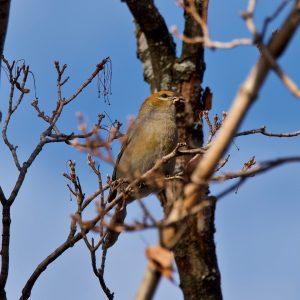 Voici la femelle du durbec des sapins. Le durbec des sapins est une espèce très commune lors du recensement des oiseaux de Noël Neuville-Tilly 2020. Il affectionne particuilièrement les arbres fruitiers ou à graines tels que le frène.
