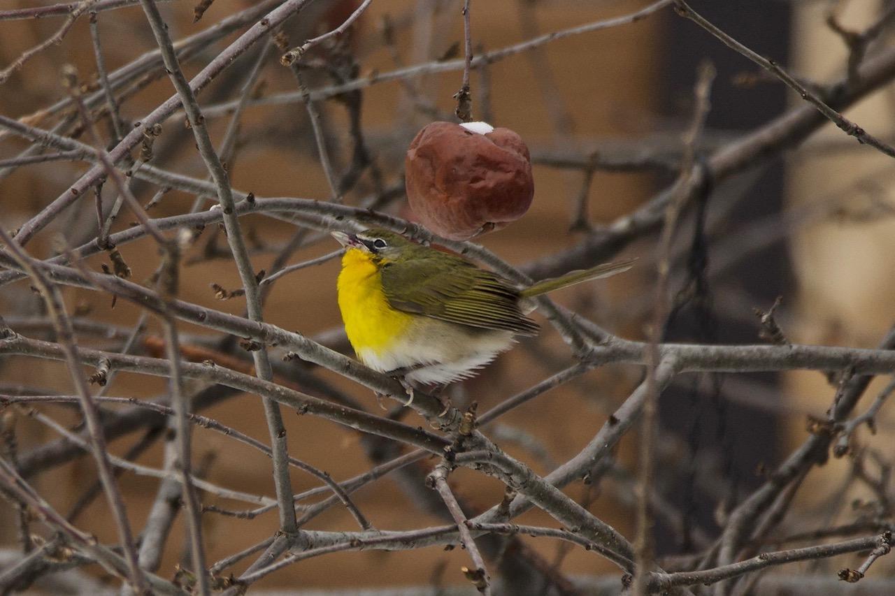 Voici un oiseau extrêmement rare dans la région du recensement des oiseaux de Noël Neuville-Tilly. Il n'a malheureusement pas pu être compté dans le décompte 2020, car il n'était plus présent au moment de l'inventaire.