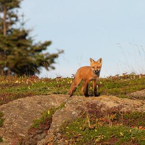 Une famille de renards s'est installée à l'île aux Basques. On les observe le plus souvent dans la prairie à l'ouest. Voici ici un renardeau observant un visiteur passant dans le sentier.