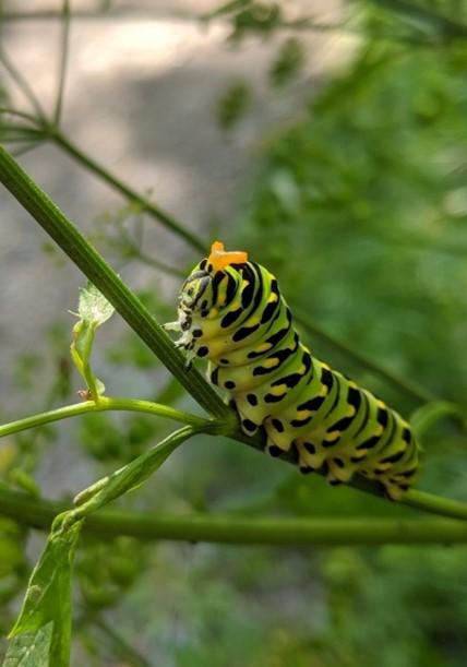 Papillon du céleri à la réserve naturelle du Marais-Léon-Provancher (photo : Naturegeek14,