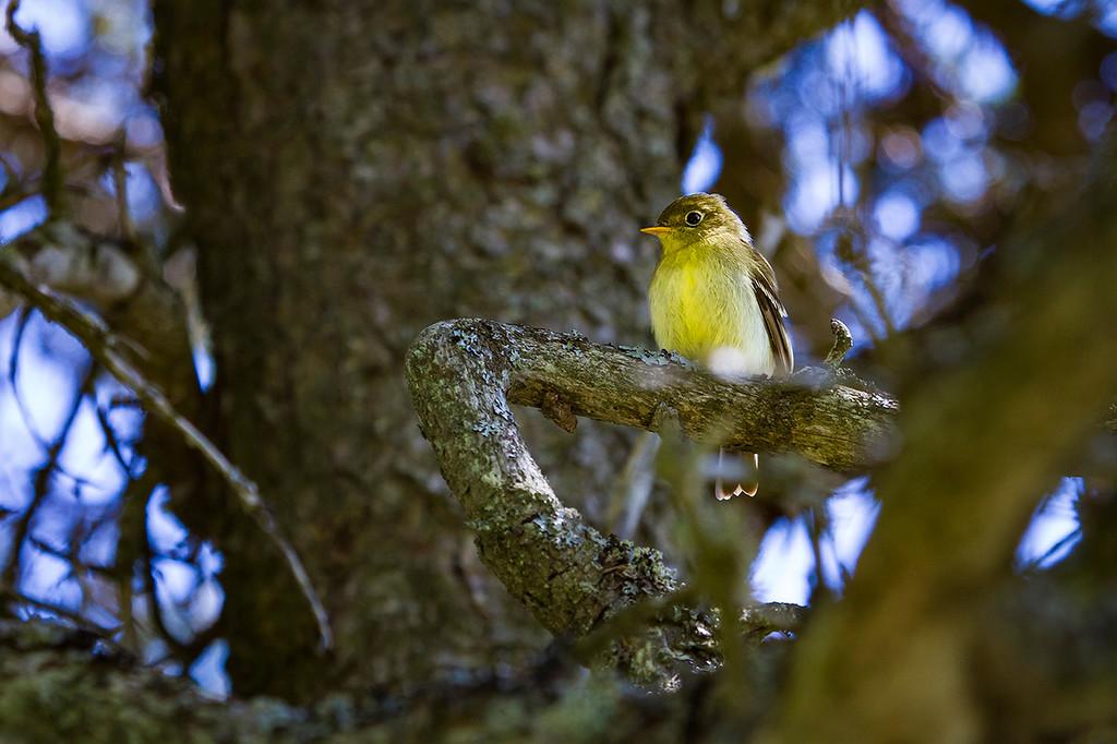 Le moucherotte à ventre jaune est un rare visiteur de l'île aux Basques. On peut l'observer le printemps lors des migrations. Photo : Annie Macfhay.
