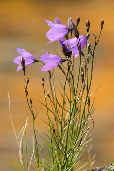 Cette très belle plante, une campanule à feuilles rondes, est omniprésente dans la prairie ouest de l'île aux Basques. Photo : Yves Déry.