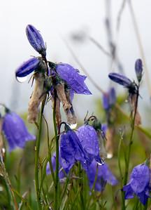 La flore indigène est bien représentée au parc naturel et historique de l'Île-aux-Basques, comme en témoigne cette campanule a fleurs rondes. On l'observe surtout dans la prairie de l'ouest.