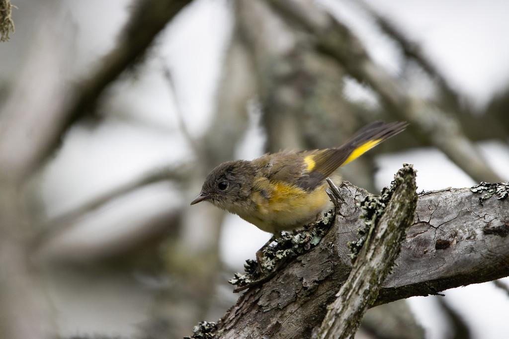La paruline flamboyante est un passereau superbe. Celui-ci est une femelle, bien différente du mâle adulte. Cette paruline est commune dans les bosquets de l'île aux Basques. L'avifaune de l'île aux Basques est particulièrement riche en oiseaux forestiers migrateurs.
