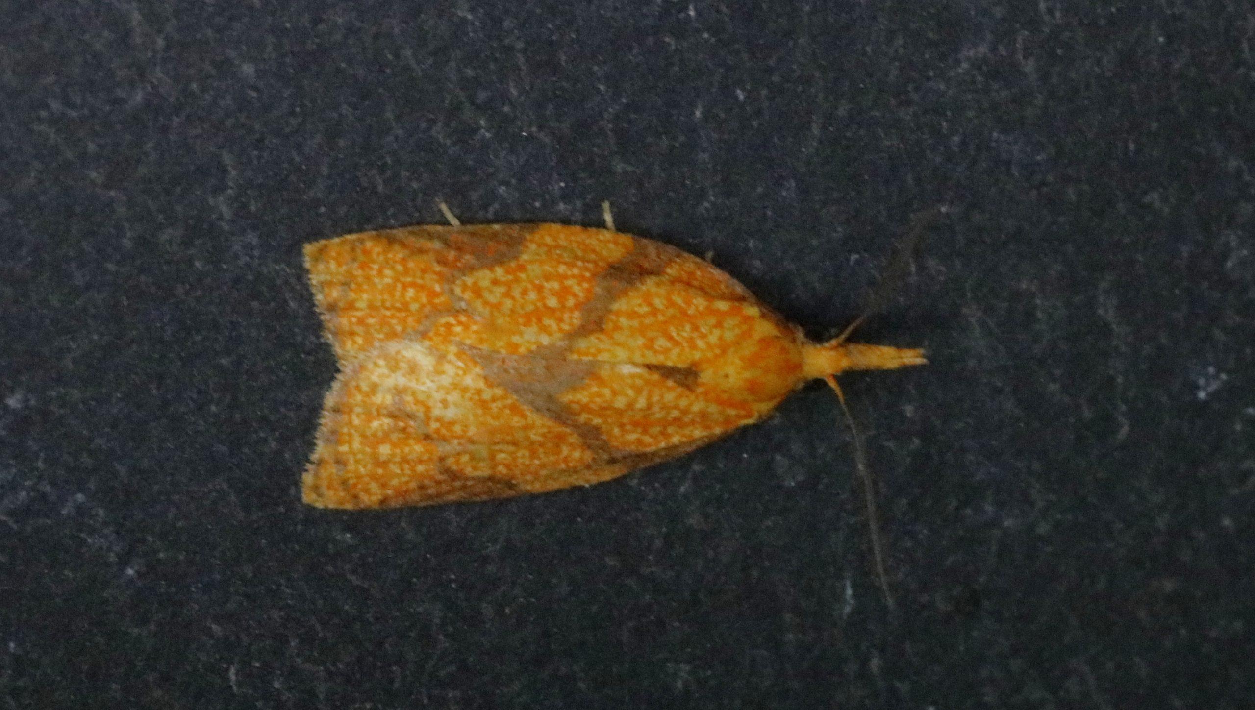 Certains papillons de nuit n'ont pas encore de nom français en raison de leur rareté. Celui-ci est remarquable par ses marques réticulées sur les ailes.