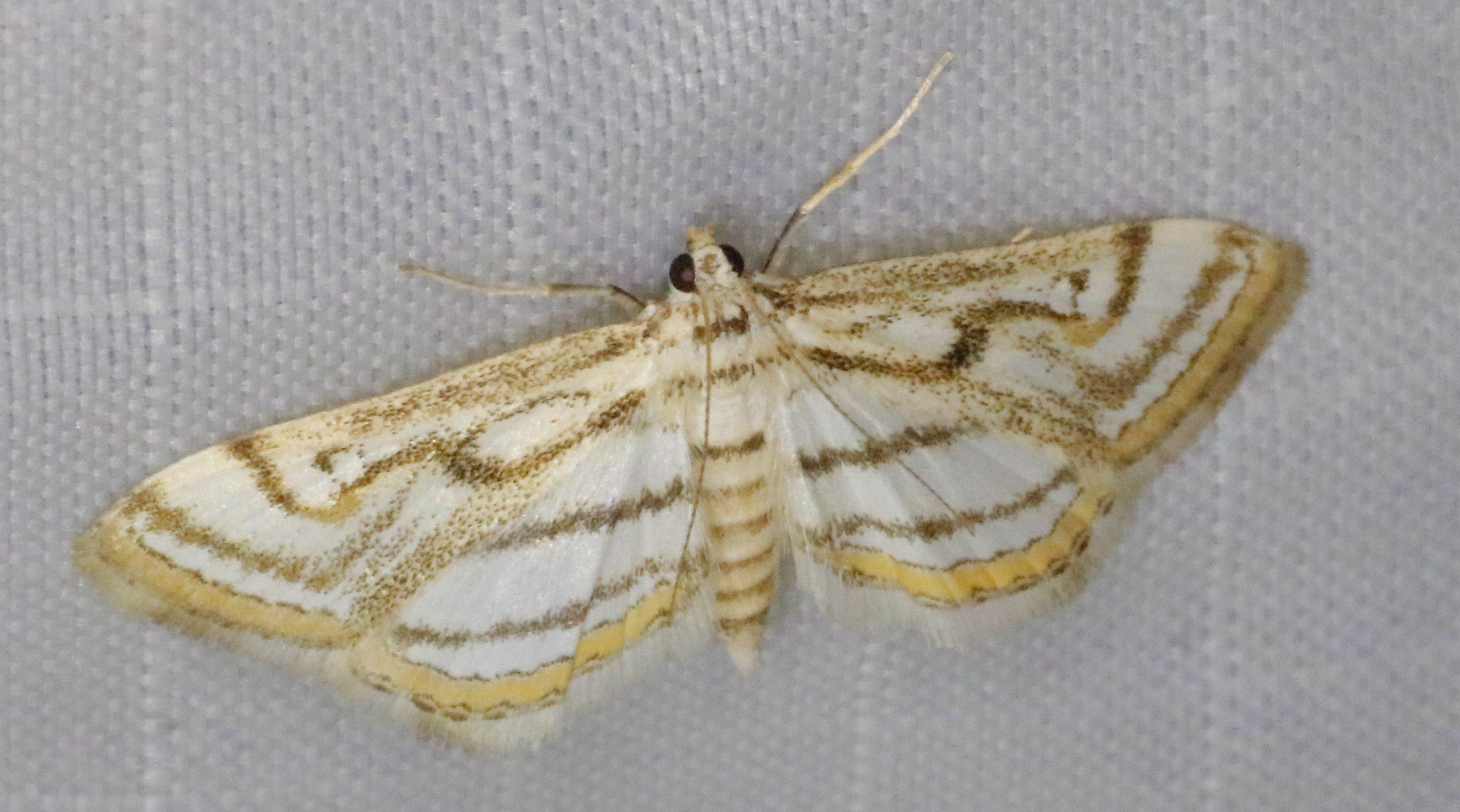 Ce joli papillon de nuit aux marbrures semblables sur chaque aile n'a pas encore de nom français.