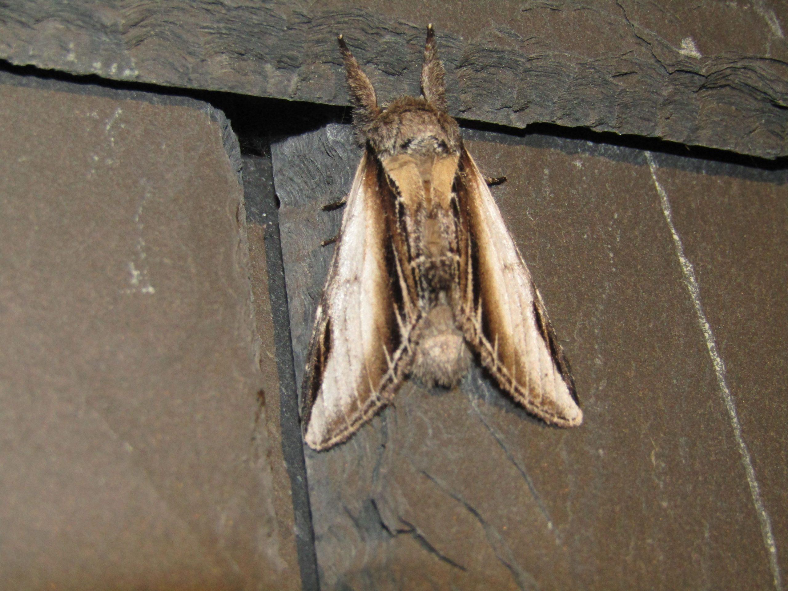 Lors de l'activité Découverte des papillons de nuit, certaines espèces n'ont pas encore de nom français. Pheosia rimosa, le papillon proéminent à bord noir - traduit de l'anglais : black-rimmed prominent -, proéminent fissuré ou faux-sphinx, est un papillon de nuit de la famille des Notodontidae.