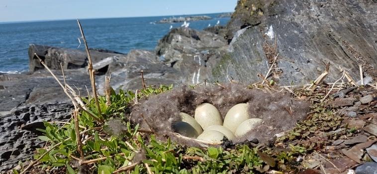 Inventaire des oiseaux marins aux îles Razade par la Société Duvetnor en 2019