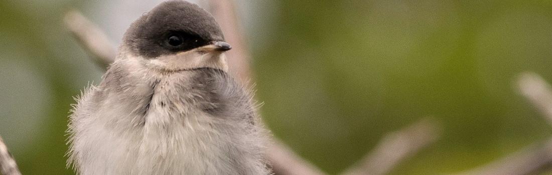 Ornithologie estivale à la réserve naturelle du Marais-Léon-Provancher