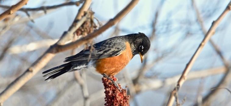 Recensement des oiseaux de Noël Neuville-Tilly 2019