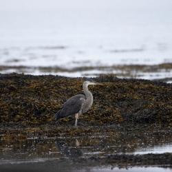 Ornithologie à l'île aux Basques : les berges et les rochers