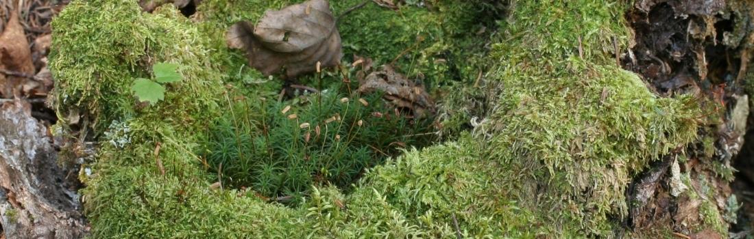 Le monde minuscule des bryophytes