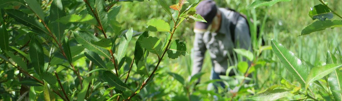 La lutte au roseau commun à la réserve naturelle du Marais-Léon-Provancher, saison 2020