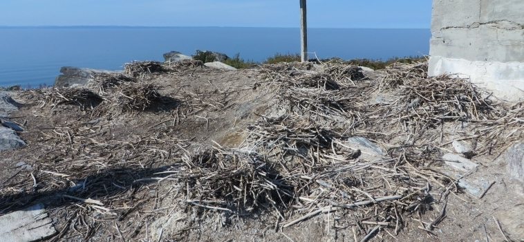 Protection de l'habitat de l'eider à duvet aux îles Razade