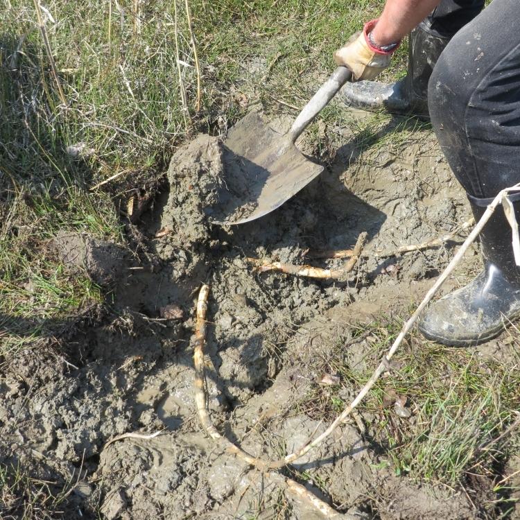 Arrachage des rhizomes de roseaux communs (Photo: Réhaume Courtois)