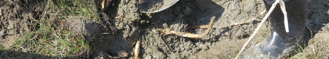 Contrôle du roseau commun au marais Léon-Provancher