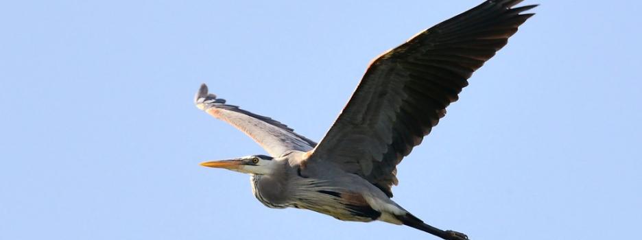Utilisation d'un drone pour l'inventaire de la héronnière de l'île aux Basques