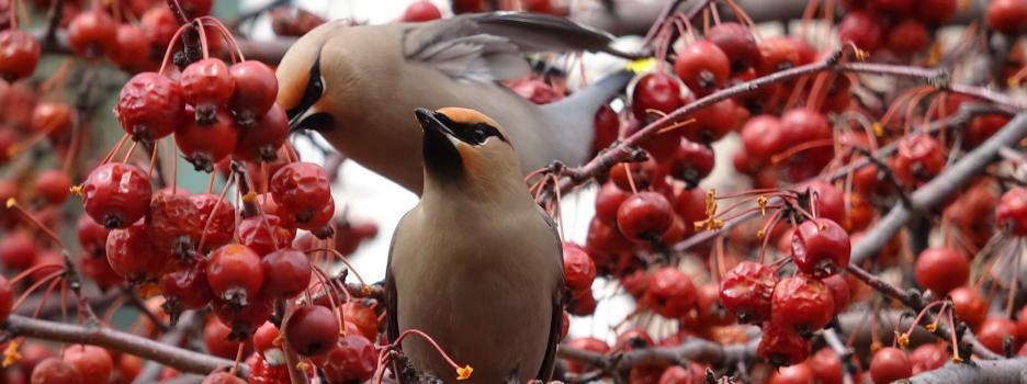 Recensement des oiseaux de Noël Neuville-Tilly 2020