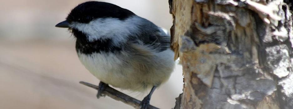 Recensement des oiseaux de Noël Neuville-Tilly 2018