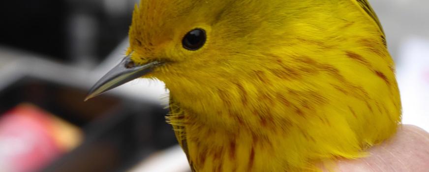 Baguage d'oiseaux à la Réserve naturelle du Marais-Léon-Provancher en 2018