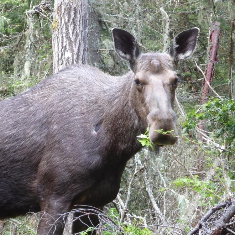 Orignal au Parc naturel et historique de l'Île aux Basques au mois de  juin 2017 (Photo: Jean Tremblay)