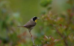 Ornithologie à l'île aux Basques : la forêt et la prairie