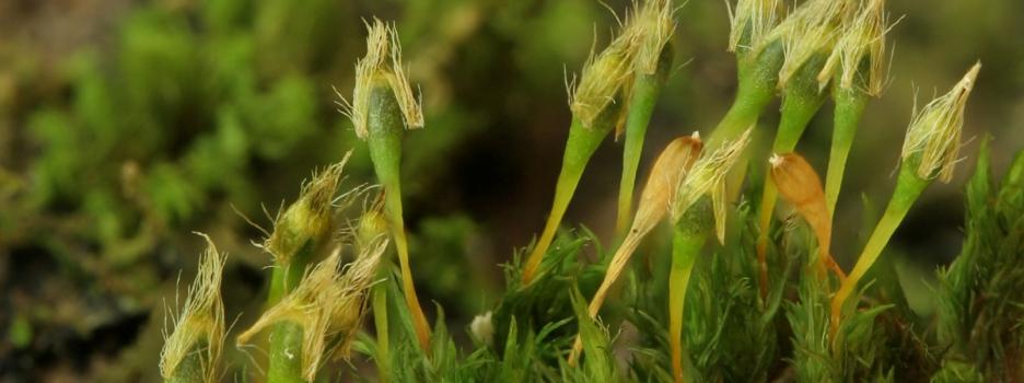 Initiation aux bryophytes à la Réserve naturelle du Marais-Léon-Provancher