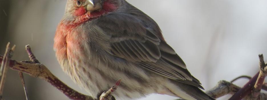 Recencement des oiseaux de Noël