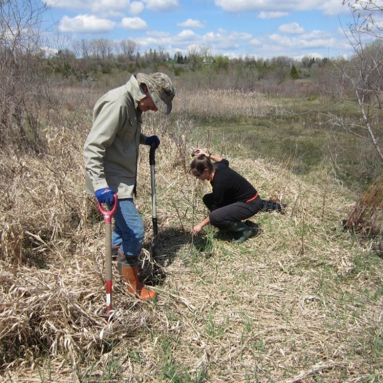 Plantation de plants de mélèzes