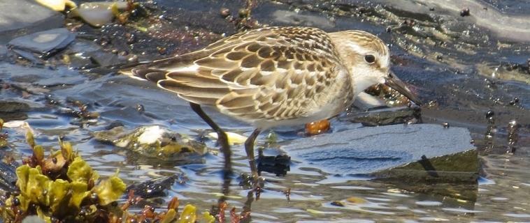 Un outil indispensable pour les ornithologues: eBird!