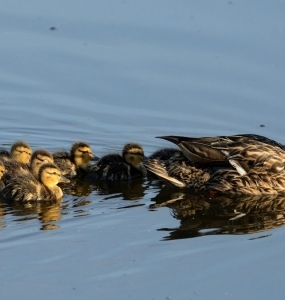 Canard et canetons (Photo: yvanbedardphotonature.com)