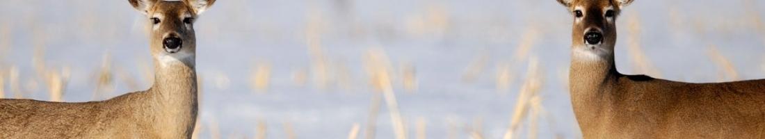 Jeu spatial complexe entre proies et prédateurs / Conférence de Daniel Fortin ce mercredi