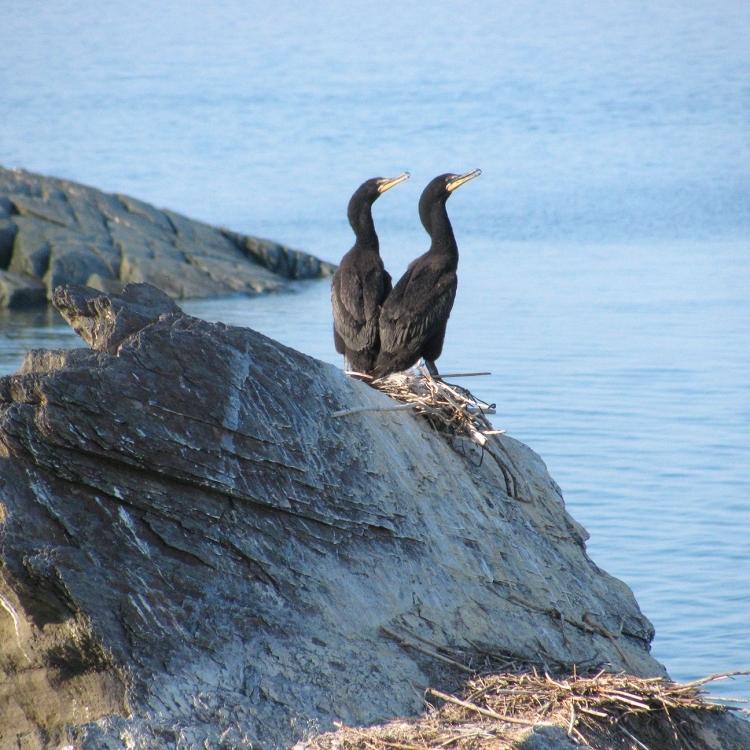 Cormorans aux Îles Razade (Photo: Guy Trencia)