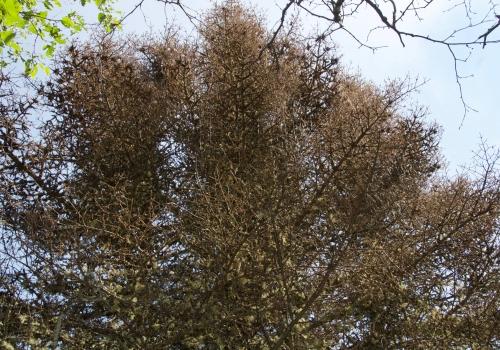 Ravages de la tordeuse des bourgeons de l'Épinette