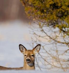 Cerf de virginie à la Réserve naturelle du Marais-Léon-Provancher (Photo: yvanbedardphotonature.com)