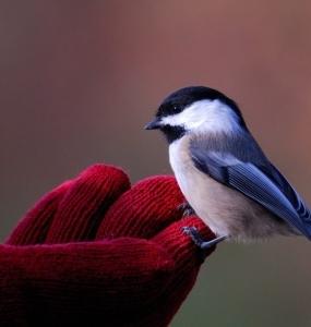 Nourrir les mésanges à la main (Photo: yvanbedardphotonature.com)