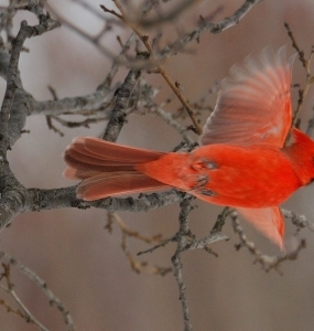 Cardinal (Photo: yvanbedardphotonature.com)