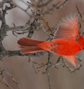 Cardinal (Photo: yvanbedardphotonature.com)