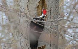 Conférence sur les arbres sénescents ou morts, ces «chicots» méconnus…