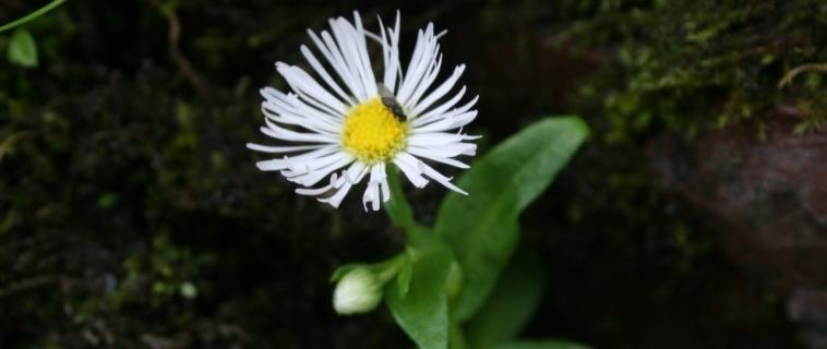 La vergerette de Provancher, une plante à connaître et à protéger
