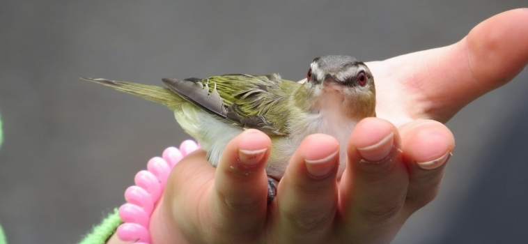 Le baguage des oiseaux 2017 à la Réserve naturelle du Marais-Léon-Provancher